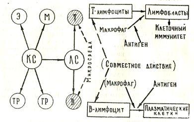 Представление о развитии иммунной системы (В. Д. Соловьев, В. М. Жданов, 1974)