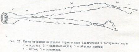 Рис. 16. Схема строения яйцеводов гюрзы з июне (подготовка к восприятию яиц); 1 - воронка; 2 - белковый отдел; 3 - яйцевая камера; 4 - матка; 5 - влагалище