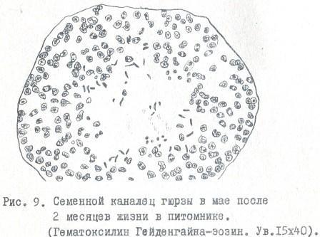 Рис. 9. Семенной каналец гюрзы в мае после 2 месяцев жизни в питомнике. (Гематоксилин Гейденгайна-эозин. Ув.15x40)