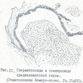 Рис.11. Сперматозоиды в семяпроводе среднеазиатской гюрзы. (Гематоксилин Бемера-эозин. Ув.15x20)
